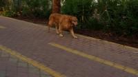 Icmeler Dog