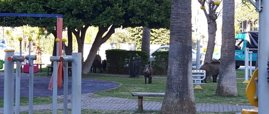 Wild boars in front of MarmarisExcursions.com office on Monday Nov.6