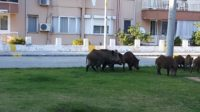 Wild_pigs_marmaris_excursions_office